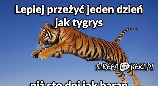 Lepiej przeżyć jeden dzień jak tygrys, niż sto dni jak baran