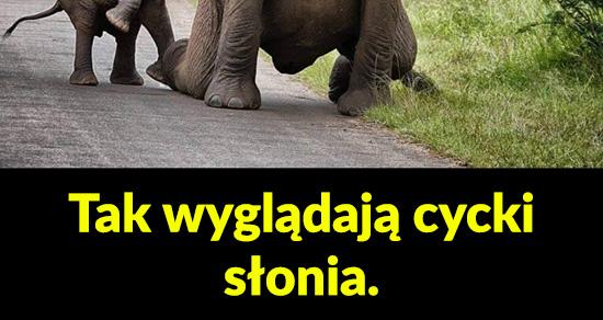 Tak wyglądają cycki słonia